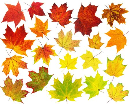 Colorful maple leaves collection isolated on white photo