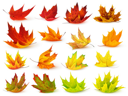 falls: Colorful maple leaves collection isolated on white Stock Photo