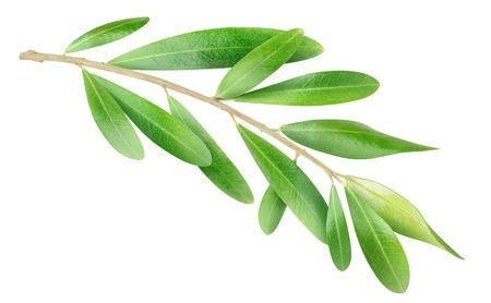 olivo arbol: Rama de olivo aislado en blanco Foto de archivo