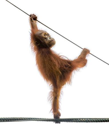 Orangutang Bebé que se coloca en una cuerda en una pose divertida, aislado en blanco