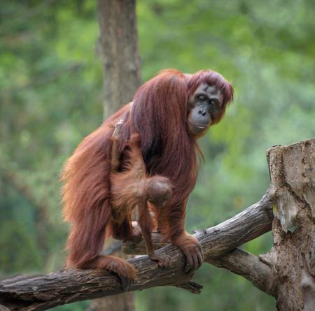 orangutang: Little orangutan hugging its mom, with jungle as a background Stock Photo