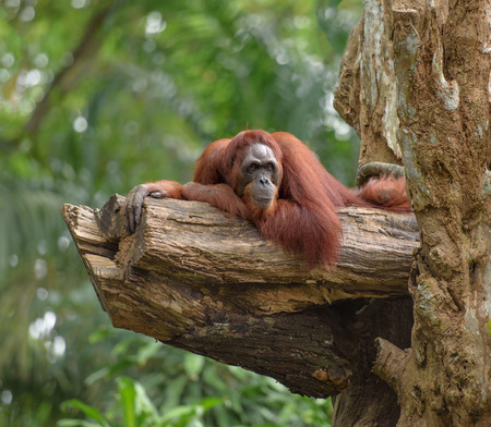 utang: Adult orangutan resting on tree trunk, with jungle as a background Stock Photo