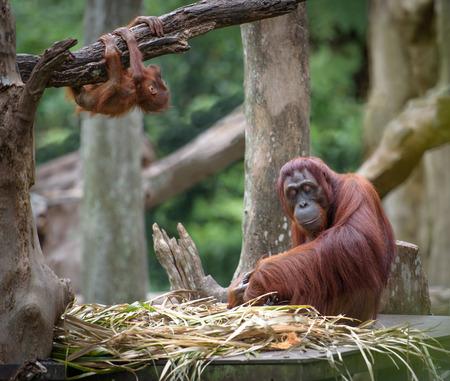 orangutang: Tired mother orangutang sleeping while its baby playing around