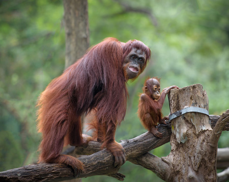 orangutang: Mother orangutang with its little son with jungle as a background