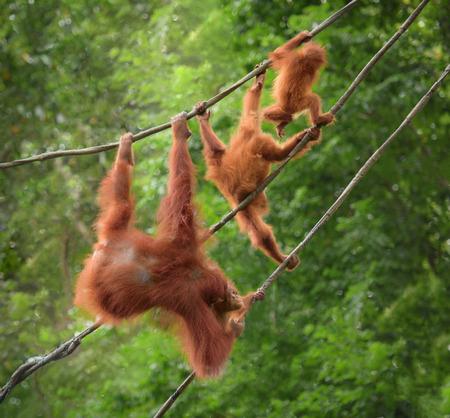animales de la selva: Familia Orangutang en poses divertidas caminando sobre una cuerda con la selva como un backgroung Foto de archivo