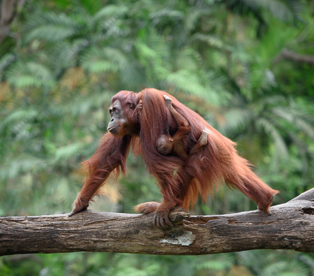 orangutang: Mother orangutang walking with its baby, with jungle as a background