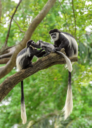 animals together: Family of black and white colobus monkeys sitting on a tree in rainforest