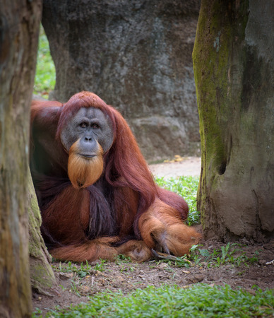 sitting on the ground: Old wise orangutan sitting on the ground looking straight to camera