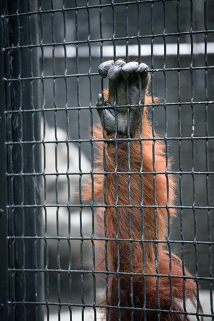 cage gorilla: Orangutan hand on a cage cell