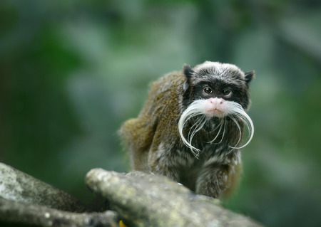 monkey face: Emperor tamarin monkey with funny mustache