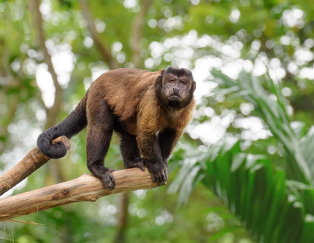 capped: Brown capuchin monkey standing on a tree in rainforest