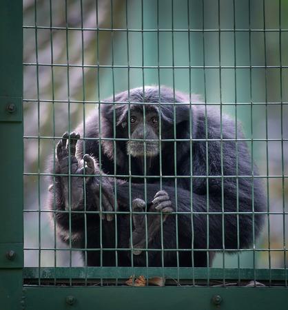 siamang: Sad siamang monkey in a cell