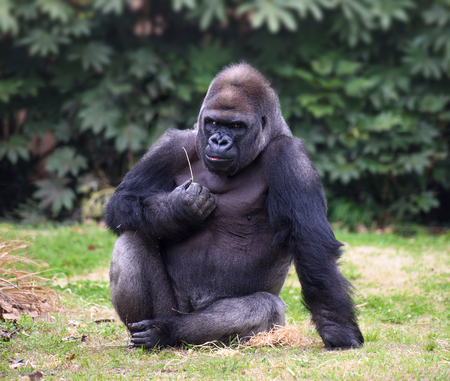 surly: Gorilla with gloomy expression looking straight in camera