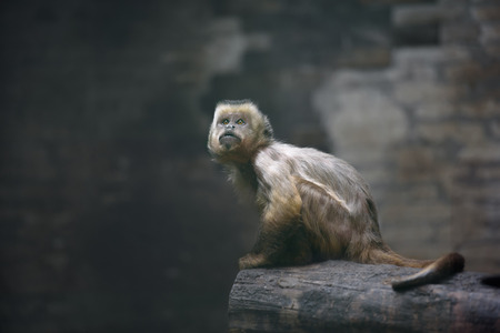 looking up: Young weeper capuchin monkey looking up