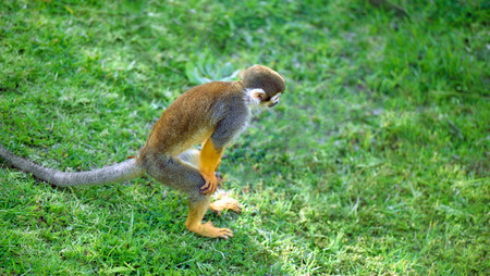 squirrel monkey: Squirrel monkey standing in a funny pose looking for something Stock Photo