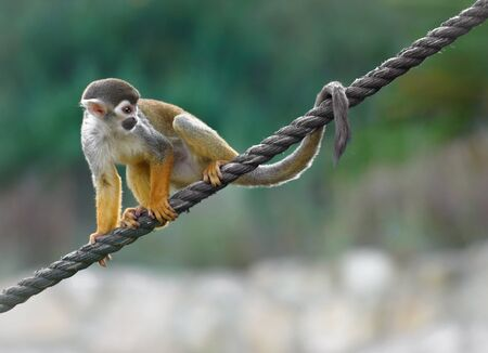 Black-capped squirrel monkey sitting on a rope