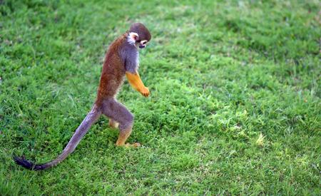 squirrel monkey: Funny saimiri monkey searching for something on the ground Stock Photo