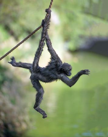 검은 손으로 거미 원숭이 밧줄에 매달려
