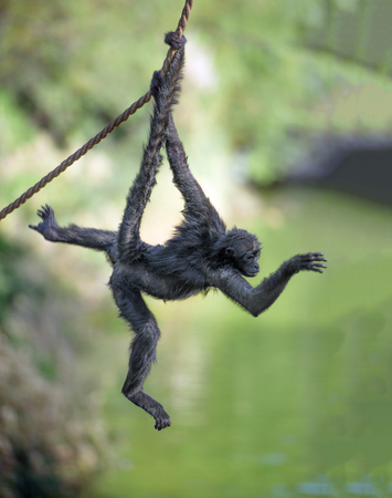 Black-handed spider monkey hanging on a rope 版權商用圖片