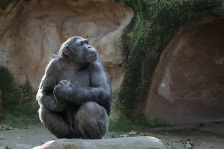 chimpanzee: Chimpanzee sitting with proud and important look Stock Photo