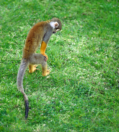 squirrel monkey: Squirrel monkey searching for something in the grass