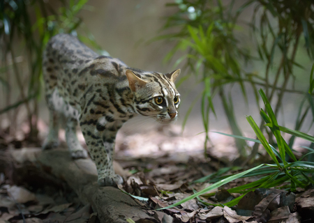 Wild leopard cat hunting in the grass Stock Photo