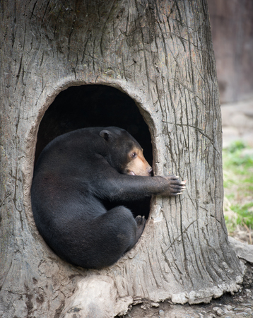 animal den: Malayan bear in its lair