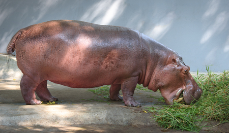 hippopotamus: Hippopotamus eating grass Stock Photo