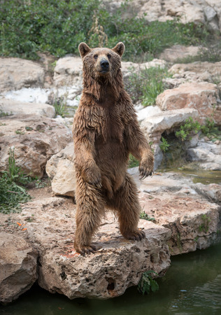 Sirian brown bear standing on the rear feet