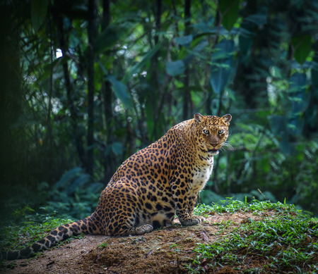 jaguar: Pregnant jaguar female looks at camera with forest in the background Stock Photo