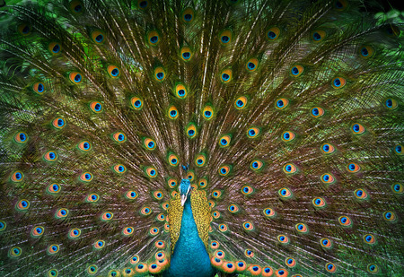 displays: Male indian peacock displays his beautiful tail Stock Photo