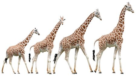 jirafa fondo blanco: Giraffes in various poses isolated on white with clipping path