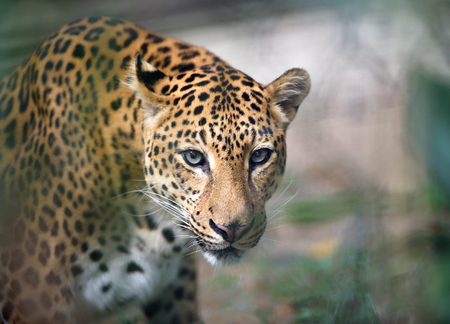 jaguar: Retrato de detalle de Jaguar que mira a la cámara, profundidad de campo