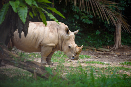 suspiciously: Rhino looks suspiciously at camera with forest in the background
