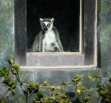 animal den: Curious ring-tailed lemur looking thought the window Stock Photo