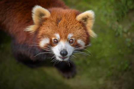 bearcat: Closeup portrait of red panda Stock Photo