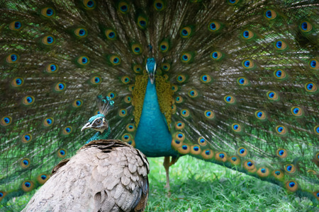 turn away: Peacock shows its beautiful tail, but peahen is not impressed
