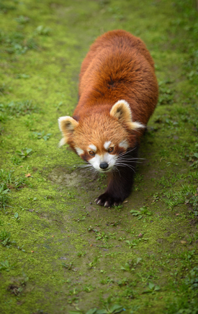 bearcat: Red panda walking