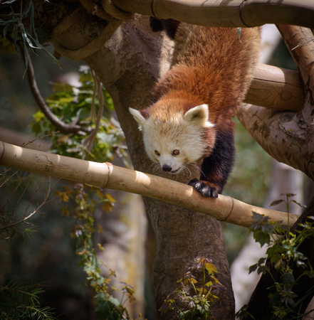 bearcat: Red panda climbing a tree Stock Photo