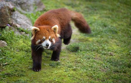 bearcat: Red panda going for a walk Stock Photo