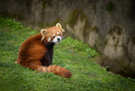 zoo animal: Red panda sitting at the bottom of a wall