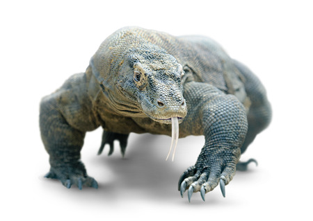 Walking komodo dragon isolated on white, with clipping path
