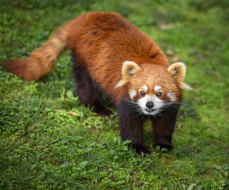 bearcat: Curious red panda