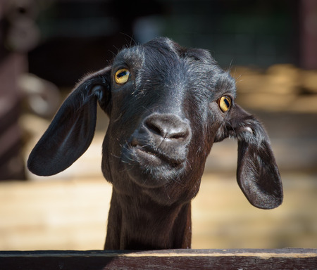 funny animals: Silly looking black goat, closeup portrait