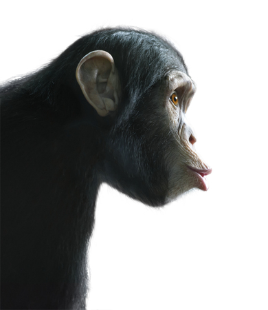 Chimpanzee's surprised funny face isolated on white with clipping path