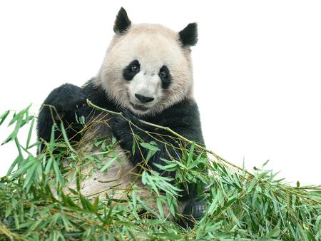 팬더가 대나무를 이어링 곰은 클리핑 패스와 함께 흰색에 고립 된 나뭇잎