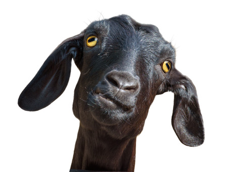 Head of silly looking black goat isolated on white, with clipping path