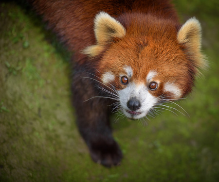 bearcat: Closeup portrait of red panda looking surprised