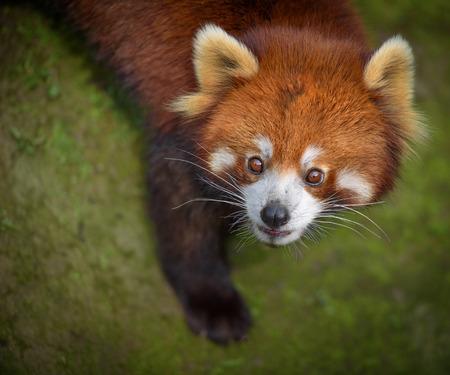 bearcat: Closeup portrait of red panda looking surprised