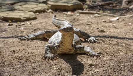 power giant: Asian water monitor looks at camera